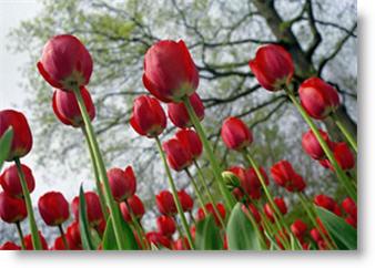Olandijos tulpės